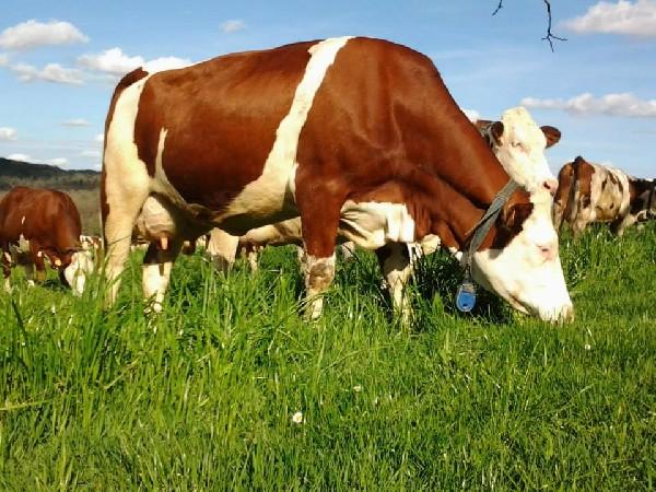 Vache de race Montbéliarde de la ferme de la brunie